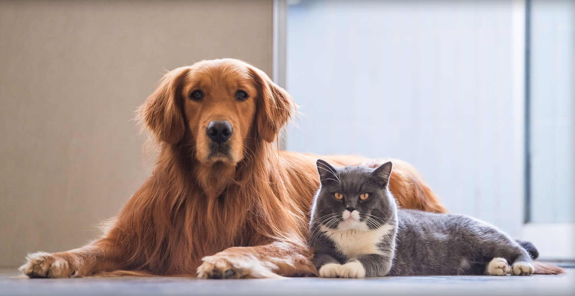 Golden Retriever and Gray and White Cat