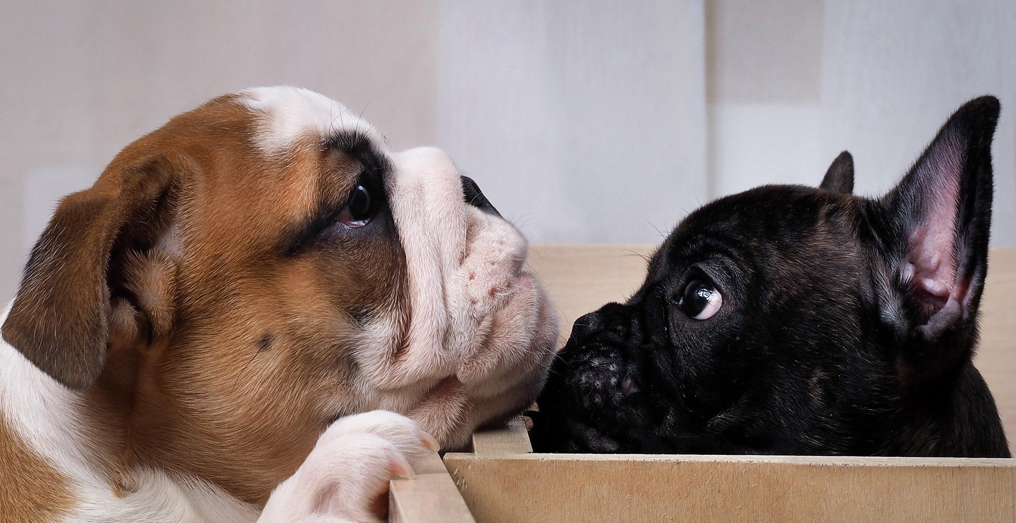 Bulldog Puppy and French Bulldog Puppy