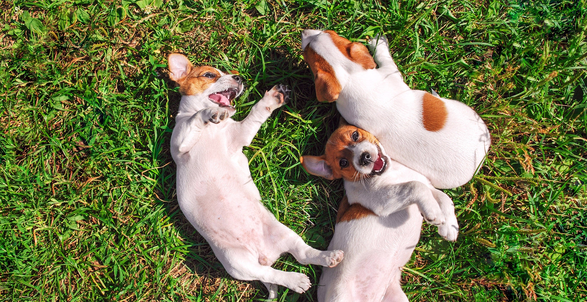 Puppies Laying in Grass