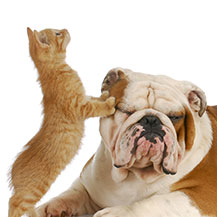 Kitten and Bulldog Playing