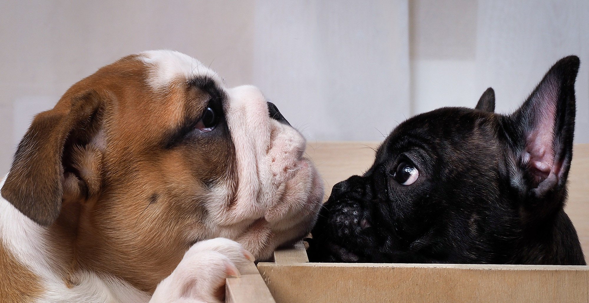 Bulldog Puppy and French Bulldog Puppy