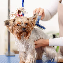 Yorkie Being Groomed
