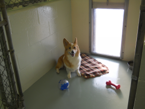 Corgi in an Indoor Kennel